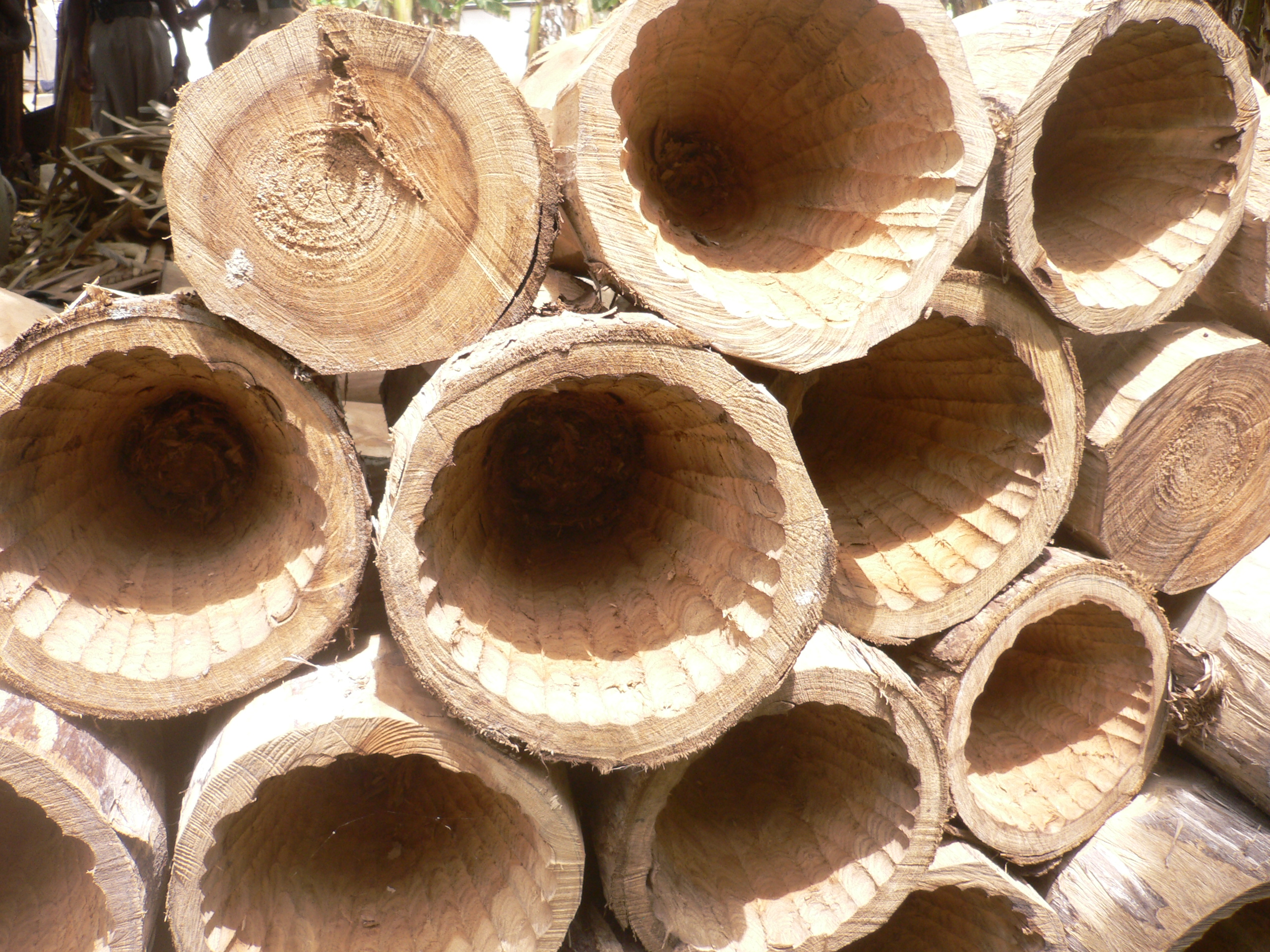 hollowed out trunks to be transformed into drums